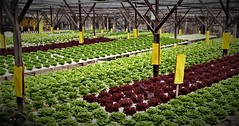 lovely lettuces (SM Tham) Tags: asia southeastasia malaysia pahang cameronhighlands brinchang bigredstrawberryfarm vegetables lettuce plants hydroponics covered rows structure