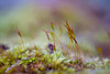 Sony a7 50mm 2.8 fe macro (Jasrmcf) Tags: ilce7 sel50m28 macro 50mm28macro 50mm moss closeup delicate depthoffield detail bokeh bokehgraph bokehlicious green blur smooth garden nature ngc colourful colourartaward dreamy beautiful