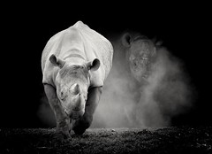 Eat my dust! (joannekerry) Tags: rhino blackrhino rhinoceros yorkshirewildlifepark wildlife nature canon