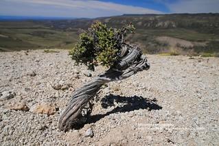 Chile Chico, Reserva Nacional Lago Jeinimeni, a bonsai in Valle Lunar