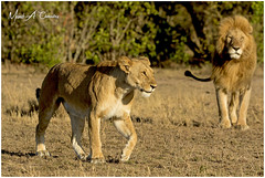 Queen on the Catwalk! (MAC's Wild Pixels) Tags: queenonthecatwalk lion lioness lionpride doublecrosspride doublecrossfemale kingromeoii pantheraleo bigpussycat lions lionking queenofthesavannah queenofthejungle wildcats wildpussy animal mammal wildlife wildafrica wildanimal wildlifephotography safari gamedrive savannahplains goldenpussy outdoors outofafrica carnivore predator hunter beautifulpussy masaimara maasaimaragamereserve kenya macswildpixels coth ngc coth5 npc