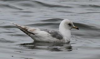 Mew Gull [American] (Larus canus brachyrhynchus) 06-05-2017 Anchorage Point, Kenai Peninsula Co. AK 4