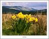 Daffodils and The Campsies (flatfoot471) Tags: 2008 april daffodill landscape mugdock nature normal plant scotland spring stirlingshire unitedkingdom gbr