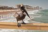 Pelican... (Lady Haddon) Tags: pelican lauderdalebythesea florida seaside seasidebird brownpelican
