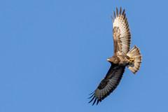 Paprastasis suopis (webkuma) Tags: paprastasissuopis buteobuteo commonbuzzard bird