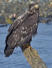 The eagle has landed (Snixy_85) Tags: eagle frenchcreekmarina immature haliaeetusleucocephalus