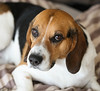 Lucky (LuckyMeyer) Tags: canon beagle hund dog haustier friend black brown white