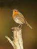 Robin (noelbarke) Tags: erithacus rubecula red breast hedges gardens undergrowth territorial