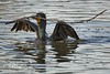 Double Crested Cormorant with nesting material (wfgphoto) Tags: doublecrestedcormorants nestbuilding sticks tree water work branch