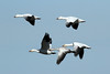 Chen caerulescens (Snow Goose) - WA, USA (Nick Dean1) Tags: chencaerulescens goose snowgoose anseriformes thewonderfulworldofbirds birdperfect birdwatcher