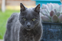 In Memoriam: Rest In Peace, Sweet Hattie ( ~25-30 Years Old) (Life_After_Death - Shannon Renshaw) Tags: cat pet animal old senior rescue dumped very gray nebelung book twilight fangs fang green eyes portrait outdoor blue russian russianblue inmemoriam memoriam breed silver mist creature creatureofthemist rest peace