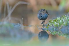 _NGR1377Burrito-negruzco (ninograngetto@hotmail.com) Tags: aves laguna marchiquita córdoba nikon birds d5