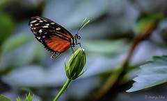 Magnificent Monarch (Ananya Saha) Tags: canon macro nature white wanderer green leaves orange blue black veined brown common tiger nymphalidae family insect monarch milkweed butterfly