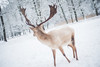 the white reindeer (madtacker) Tags: tier hirsch reindeer outdoor natur bokeh vintage art ennamünchen ennalyt 50mm f19 nikon d800 deutschland germany