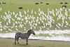 Zebra & Cattle Egrets (featherweight2009) Tags: burchellszebra dquusquagga zebra commonzebra plainszebra africa
