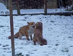 Fox argument (Matt C68) Tags: foxes redfox vulpesvulpes urbanfox garden snow winter weather cold animal mammal nature wildlife 4k panasonic lumix g7 fauna 7dwf