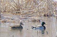 Mallard Ducks (pecooper98362) Tags: binghamton newyork broomecounty fallonroad wetlands bolandpond thomascreek marsh winter cold winterwetlands ducks dabblingducks mallards mallardducks anasplatyrhynchos cattails typha