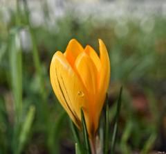 Crocus (Nina_Ali) Tags: flora crocus yellow nature bokeh depthoffield spring 7dwf