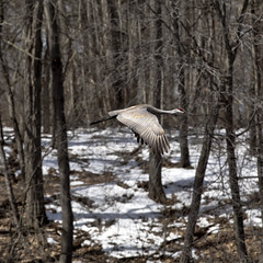 "Sandhill Crane 2 in flight 3 sq • <a style=""font-size:0.8em;"" href=""http://www.flickr.com/photos/30765416@N06/40889245781/"" target=""_blank"">View on Flickr</a>"