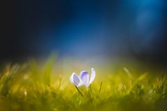 Cobalt (der_peste (on/off)) Tags: crocus flower spring bloom blue green grass meadow lawn bokeh dof macro proxy beautiful painterly matte shallowdepthoffield bluetone greentone