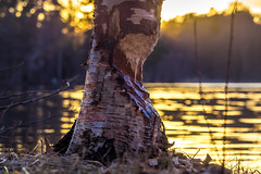Beaverland (Jens Haggren) Tags: tree beaver sunset sun light water lake reflections evening view landscape nature nacka sweden olympus em1 jenshaggren