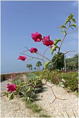 dubai 22 (beauty of all things) Tags: vae uae blumen flowers dubai
