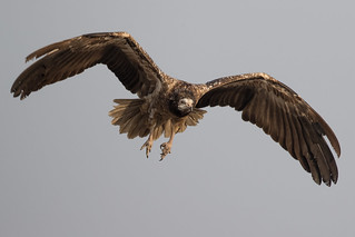 Egyptian Vulture | Neophron percnopterus | सफ़ेद गिद्ध