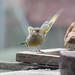 Greenfinch threat display. Photo by Bill Harding