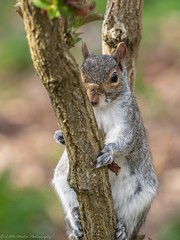 "Squirrel, Sheffield Botanical Gardens ""Explored"" (little mester.) Tags: botanicalgardens flora sheffield spring2018 squirrel"