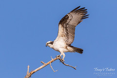 Male Osprey landing sequence - 20 of 28
