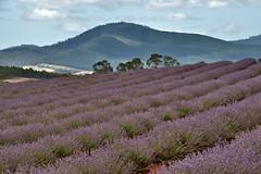 Bridestowe Tasmania Lavender fields (Franklin Vincentie) Tags: australia tasmania lavender plants flowers mountains hills fields