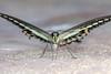 Attractive Barfly, pt. 2 - _TNY_3799 (Calle Söderberg) Tags: macro canon canon5dmkii canonef100mmf28usmmacro canoneos5dmarkii flash meike mk300 glassdiffusor vietnam phuquoc mercuryphuquocresortvillas insect butterfly fjäril bandedswallowtail swallowtail papilio demolion papilionoidea papilionidae riddarfjäril blackwhite underside wingspan symmetry fur furry fuzz fuzzy band banded stripe f67