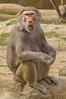Hamadryas Baboon Making a Face (The_Speedy_Butterfly) Tags: sandiego california unitedstates us monkey baboon