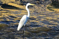 Большая белая цапля, Ardea alba egretta, Western Great Egret (Oleg Nomad) Tags: большаябелаяцапля ardeaalbaegretta westerngreategret птицы венесуэла фотоохота америка bird aves venezuela america