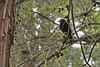 Turdus merula hidden in the woods (@Katerina Log) Tags: bird katerinalog outdoor tree trunk stick florafauna foliage 105mmf28 sonyilce6500 depthoffield bokeh daylight natura nature wildlife woods animal