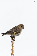 ''Minimaliste!'' Tarin des pins-Pine siskin (pascaleforest) Tags: lumière light white blanc minimaliste oiseau bird animal passion nikon nature wild wildlife faune québec canada