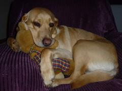 Sunshine Cuddles..x (Lisa@Lethen) Tags: sunshine labrador girl female teddy cuddles pet