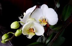 Orquídeas Blancas........  50vp (valorphoto.1) Tags: selecciónvp orquídeas natural naturalezasmuertas stilllife flores photodgv macrofotografía