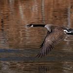 goose-6.jpg thumbnail