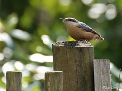 Nuthatch at Stover when the sun came out for a few minutes. (ronalddavey80) Tags: nuthatch canon eos70d tamron 70300mm
