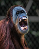 "Open wide and say ""Ahhh"" (Chas56) Tags: ngc beast orangutan ape zoo captivity canon canon5dmkiii melbournezoo melbourne"