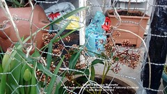 Skimmia japonica 'Rubinetta' with buds starting to open from outside of balcony (Close up) 30th March 2018 002 (D@viD_2.011) Tags: skimmia japonica rubinetta with buds starting open from outside balcony close up 30th march 2018
