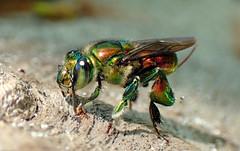 Orchid Bee (Euglossa flammea) (J.Thomas.Barnes) Tags: