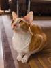 _P1011742_cut (daniel kuhne) Tags: cats katzen cornishrex stubentiger mft epl3