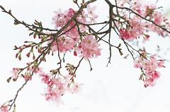 Blooming Spring ([M!chael]) Tags: nikon fm2 nikkor 5014 fujifilm superia400 flower nature film manual expired taiwan hsinchu