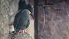 Gaviotin monja (José L.Gutiérrez) Tags: nikon d7100 nature naturaleza fisheye reflex mirror landscape paisaje 10mm atacama chile desierto desert 200mm panorama bird ave