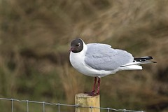 Black headed Gull (boogie1670) Tags: canon 5d mark iv sigma 150600mm sports black headed gull wildlifebritish water gulls outdoors seabirds ngc