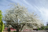 El viejo ciruelo (inma F) Tags: plumtree flower spring old farm rural white sky tree plumflower macro flor ciruelo blanco ciruelero arbol primavera
