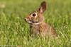 Happy Easter! (rdroniuk) Tags: animals rabbit mammals wildlife cottontailrabbit cottontail sylvilagusfloridanus animaux mammiferes lapin lapinàqueueblanche