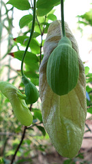 Flor em botão de Papo-de-perú  (Aristolochia gigantea) (Valter França) Tags: papodeperú trepadeira vegetal planta tropical brasil brazil flor grande ornamental tóxica perfume cítrico